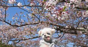 🌸心良くんと桜🌸
