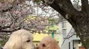 ライム君&マロンちゃんのお花見🌸